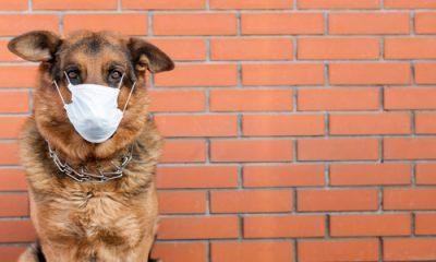 Koronawirus.  USA: Pierwszy pies zarażony COVID-19 umiera