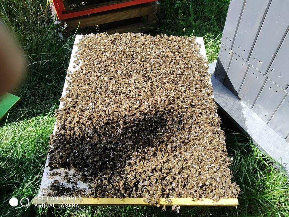 """Paweł Kukiz stracił 40 000.  pszczó³.  Obwinia walkę z komarami.  """"Umarli pewnego dnia zatruci chemią"""""""